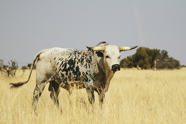 Cattle production: More on vibriosis