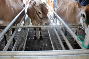 A bar has been set into the stall, so that the udders of smaller cows are not too far from the clusters, which are at the back of the stalls.