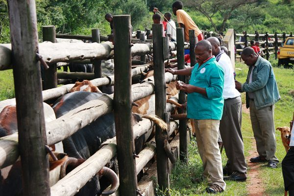 Cattle production: Vaccinate your cattle – it saves lives and stops the spread of disease