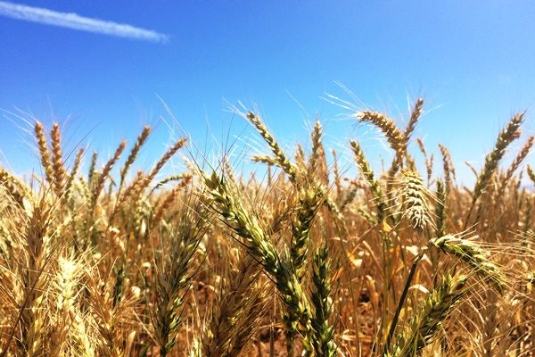 Swopping crops to improve food production and water use